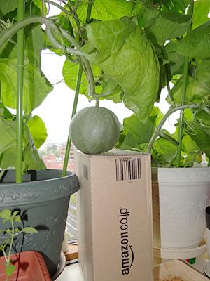 開花から19日目のクインシーメロンの実を支えるamazonの空き箱