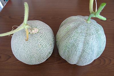 左が1週間前に収穫したスタンダードな大きさのクインシーメロン