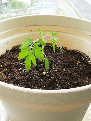 トマトの苗の植え付け