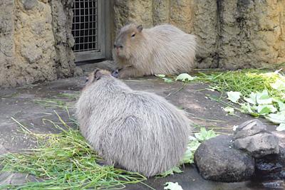 千葉市動物公園のカピバラ。手前のオスが「ゴン」、メスは「アズ」。