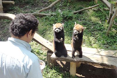 これは風太の子どもたち。双子のコウタとエイタ。飼育員さんとお話しているみたい
