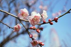 葛西臨海公園の梅