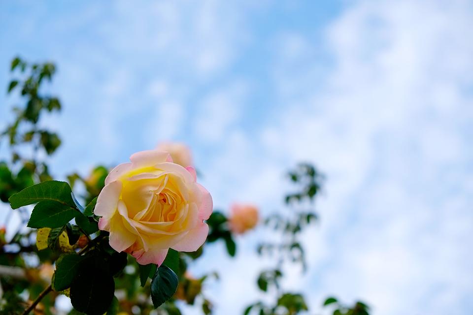 まだバラが咲いています