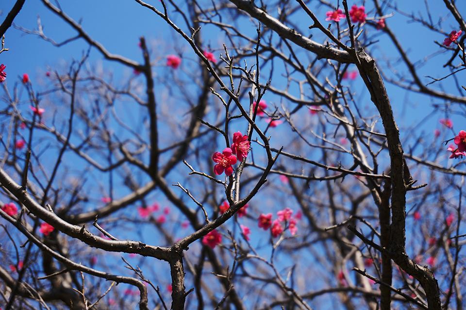 梅咲いてました