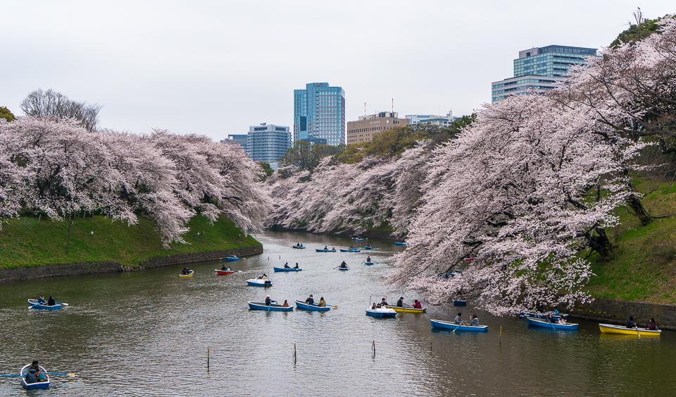 千鳥ヶ淵の桜とボートのラッシュ