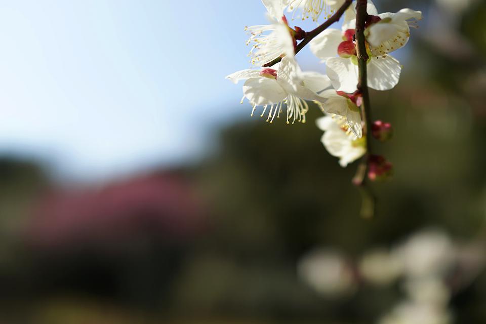 北の丸公園の梅