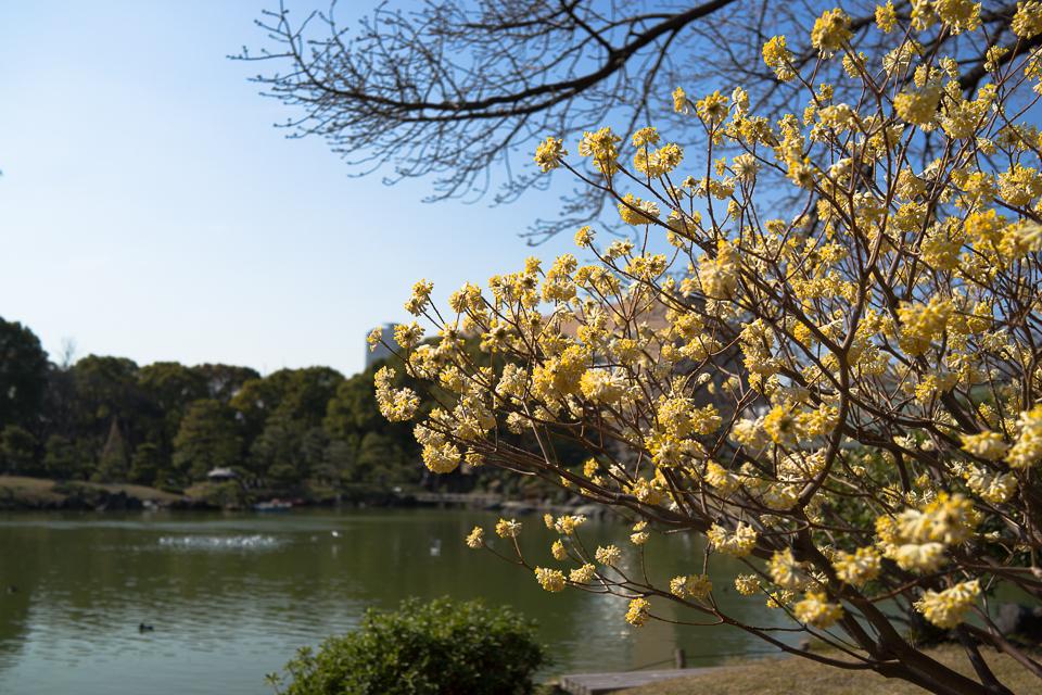 清澄庭園の黄色い花