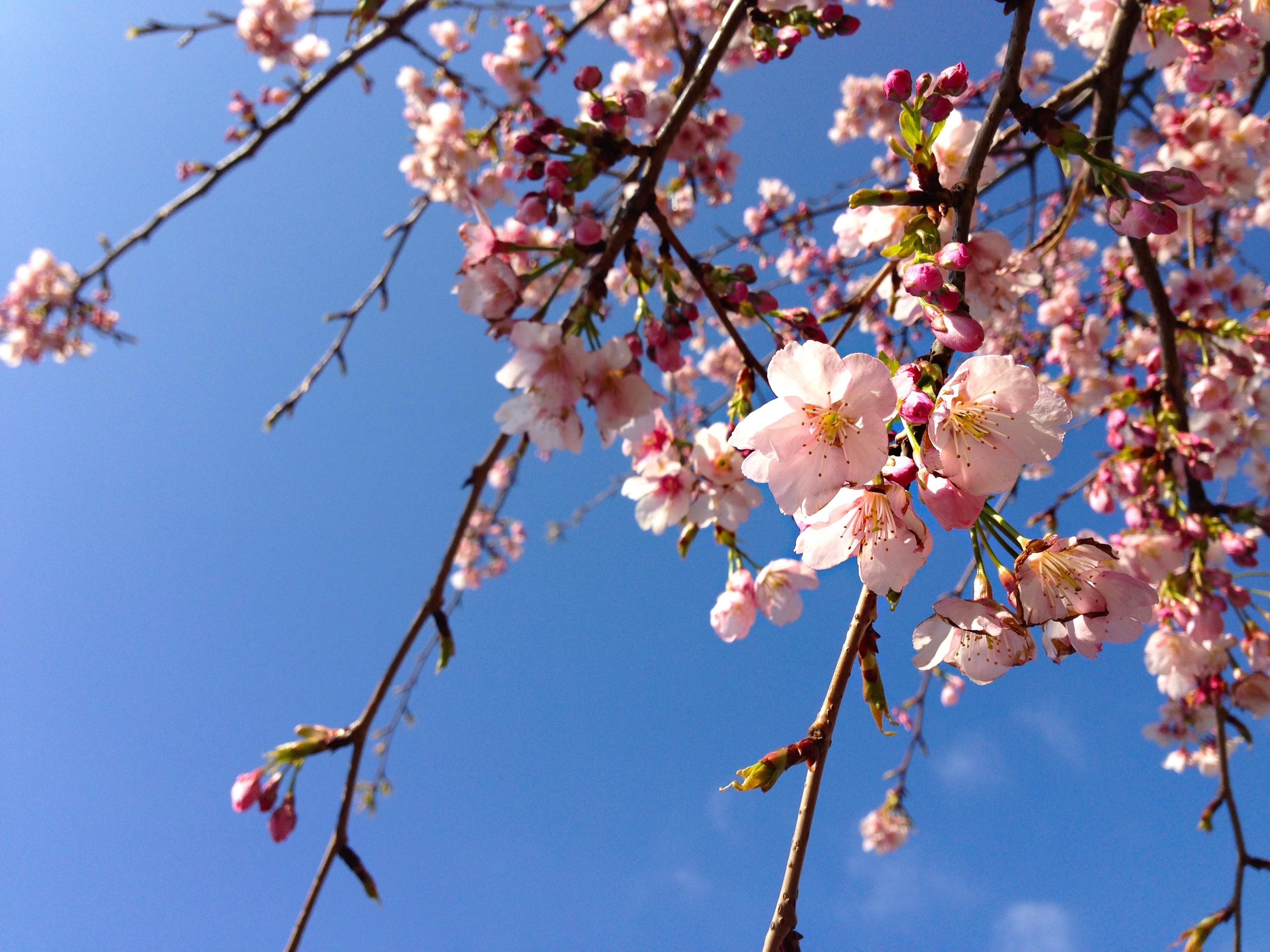 ヒヨドリがひっきりなしに花の蜜を吸いにきていました。