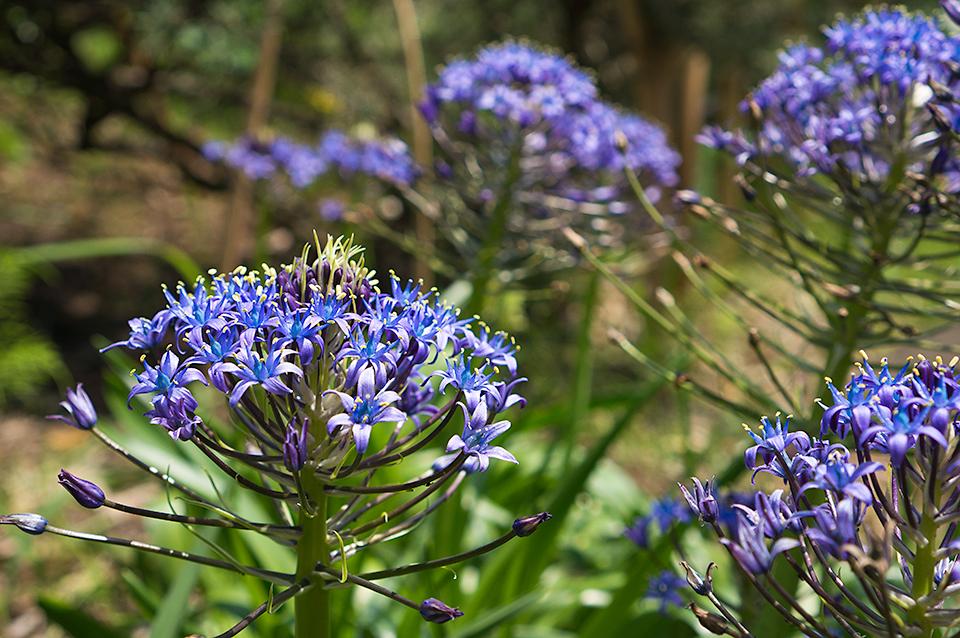 例の青い花。丸くなってきました。