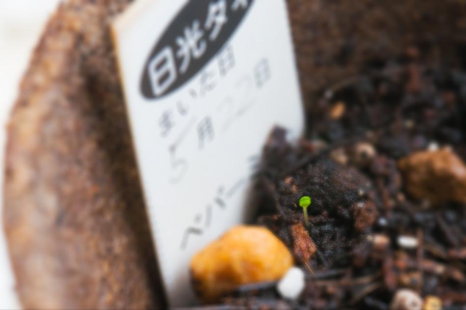 ペパーミントも発芽しました