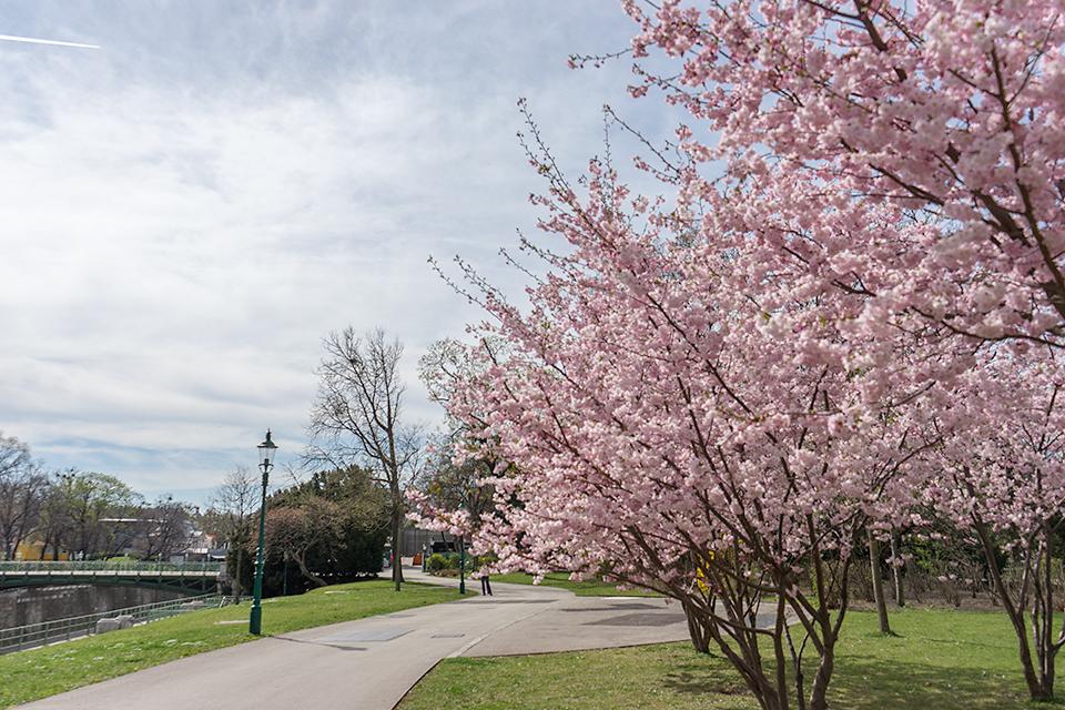 ウィーンの満開の桜。