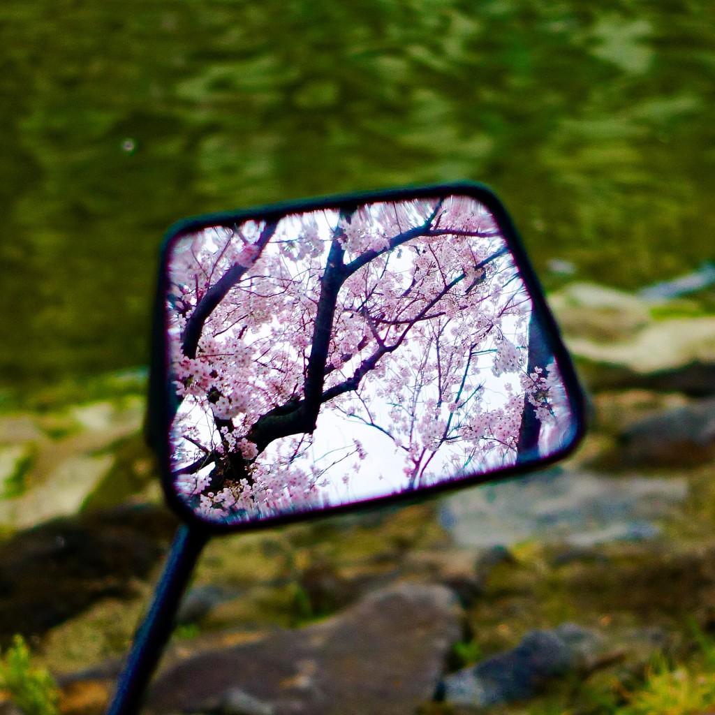 鏡の国の桜